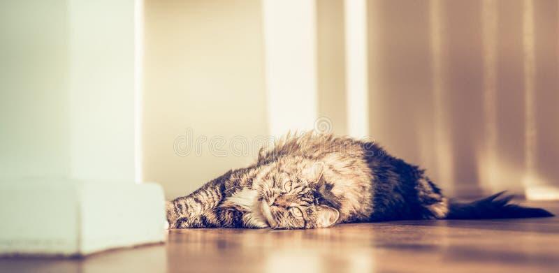 Tevreden pluizige kat die op de parketvloer liggen en de camera bekijken stock foto