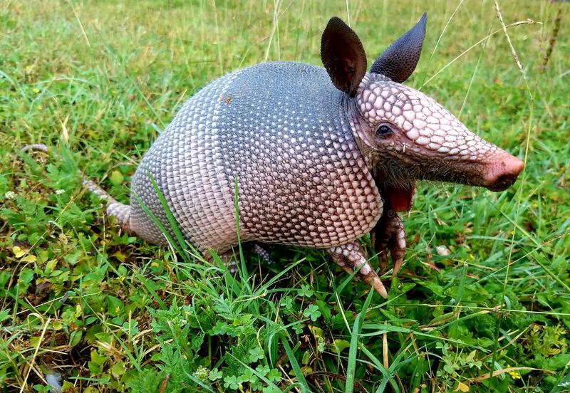 Texas armadillo stock images