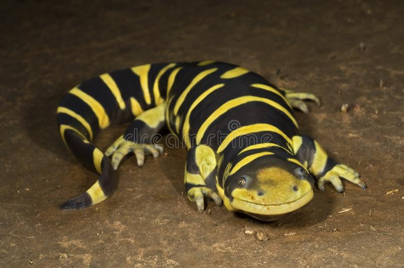 Download A Texas Barred Tiger Salamander Stock Image - Image: 14844691
