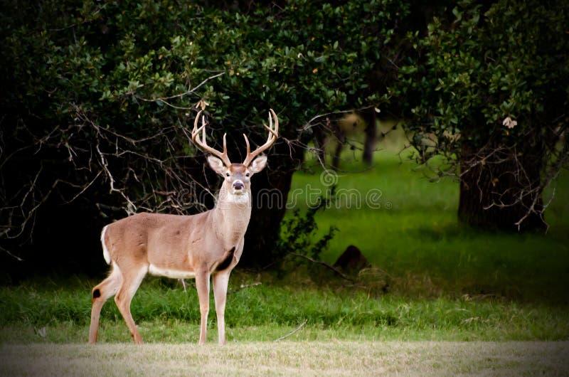 Download Texas Big Buck image stock. Image du deer, grand, nature - 77155181