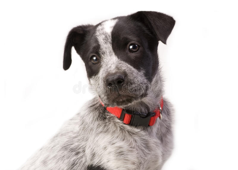 Texas Blue Heeler. Pup 11 weeks old royalty free stock photos