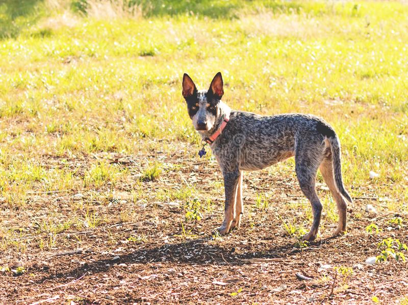 Texas Blue Heeler cattle dog royalty free stock images