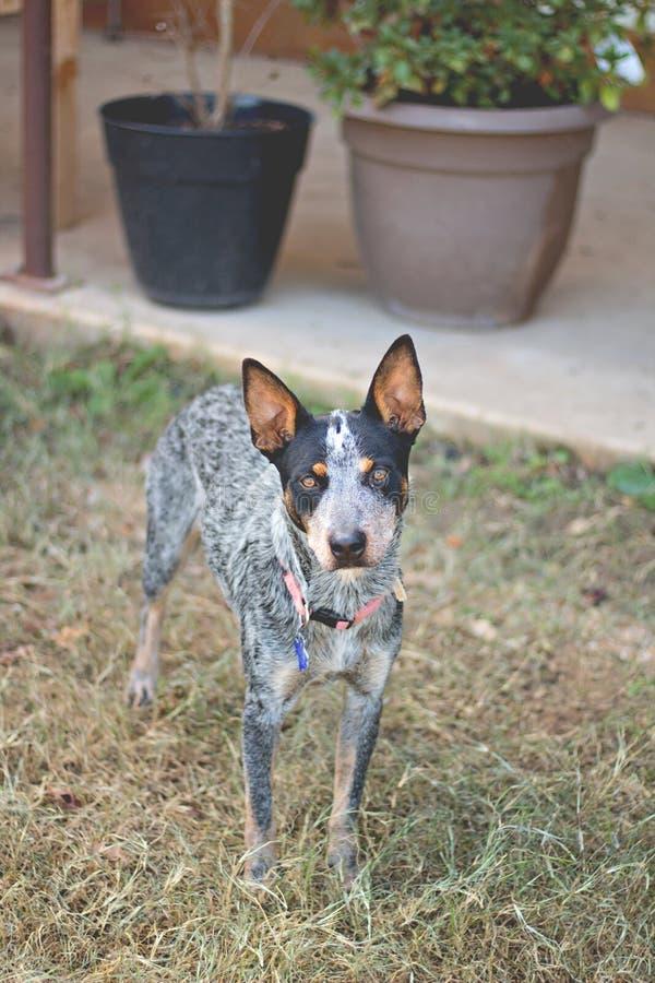 Texas Blue Heeler-veehond stock foto