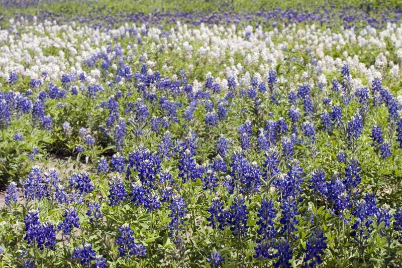 Texas bluebonnet stock photography