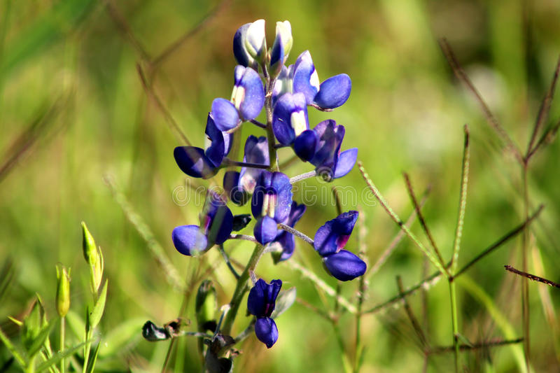 Texas bluebonnet royalty free stock images