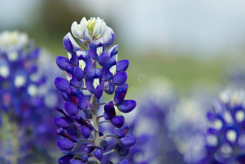 Texas Bluebonnet royalty free stock photo