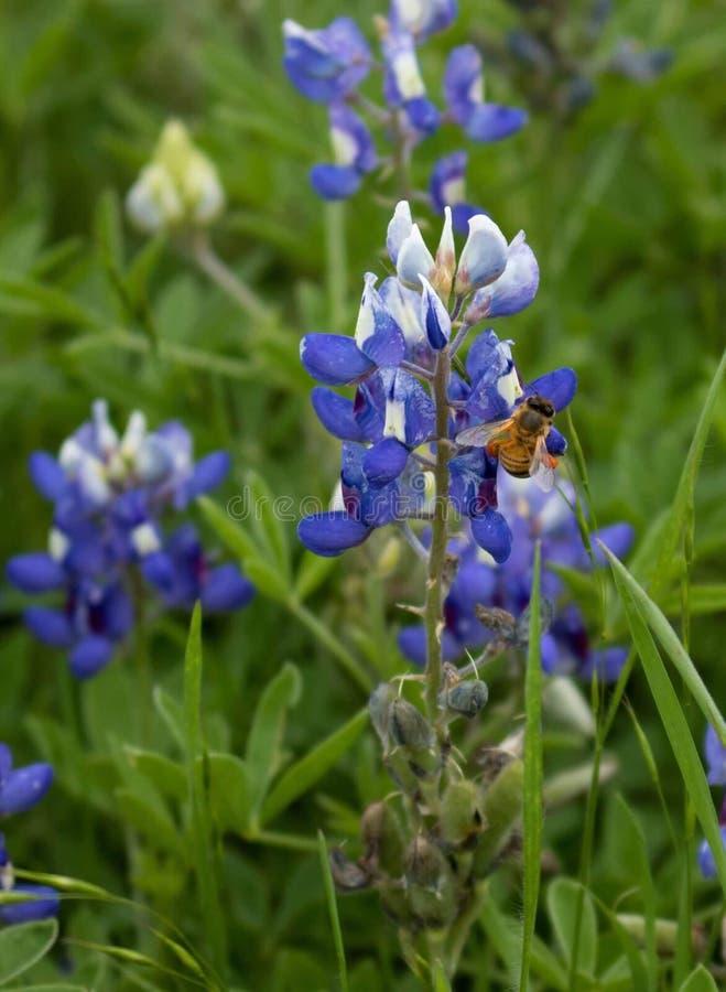 Texas Bluebonnet Bee photos libres de droits