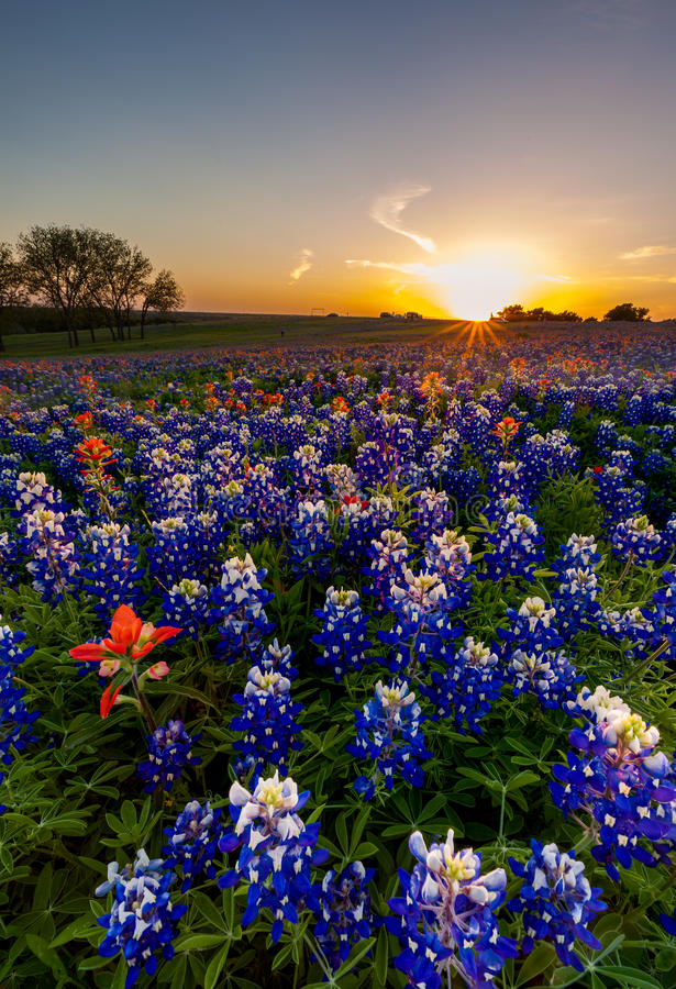 Texas bluebonnet en Indisch die penseel in zonsondergang wordt ingediend royalty-vrije stock afbeeldingen