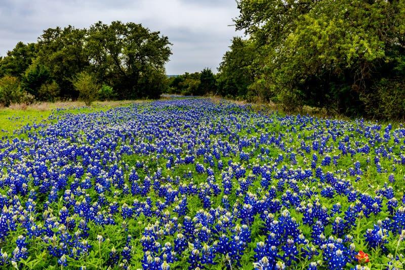 Texas Bluebonnet famoso y x28; Texensis& x29 del Lupinus; Wildflowers imagen de archivo