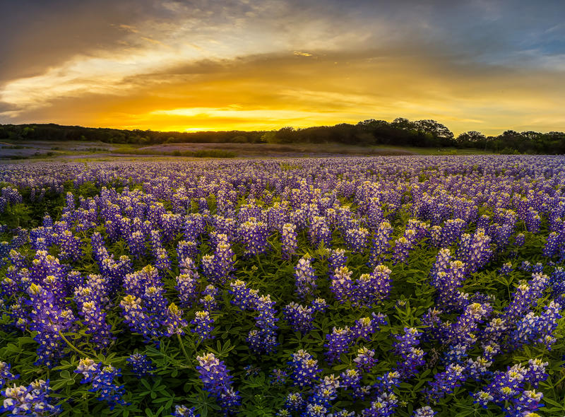Texas bluebonnet field in sunset at Muleshoe Bend Recreation Are stock images