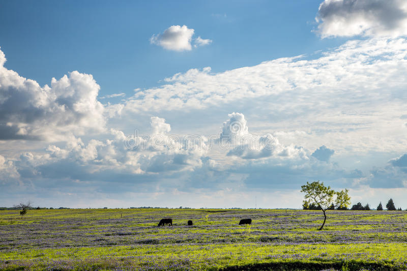 Texas Bluebonnet filed and farmland. royalty free stock images