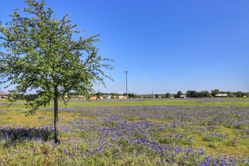 Texas Bluebonnet Flower stock afbeeldingen