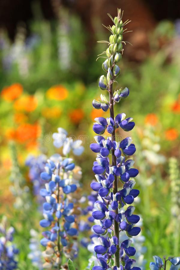 Texas Bluebonnet flower (Lupinus texensis) with colorful background. Beautiful Texas Bluebonnet flower (Lupinus texensis) with colorful background stock images