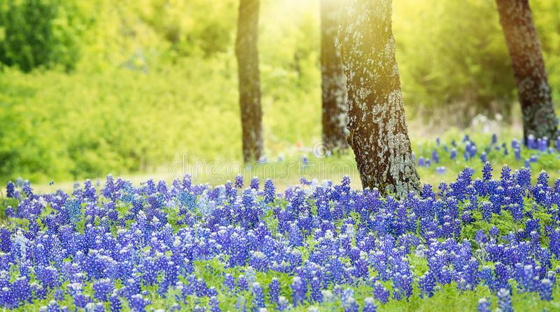 Texas bluebonnet flowers blooming under the trees. On the meadow in spring royalty free stock photography
