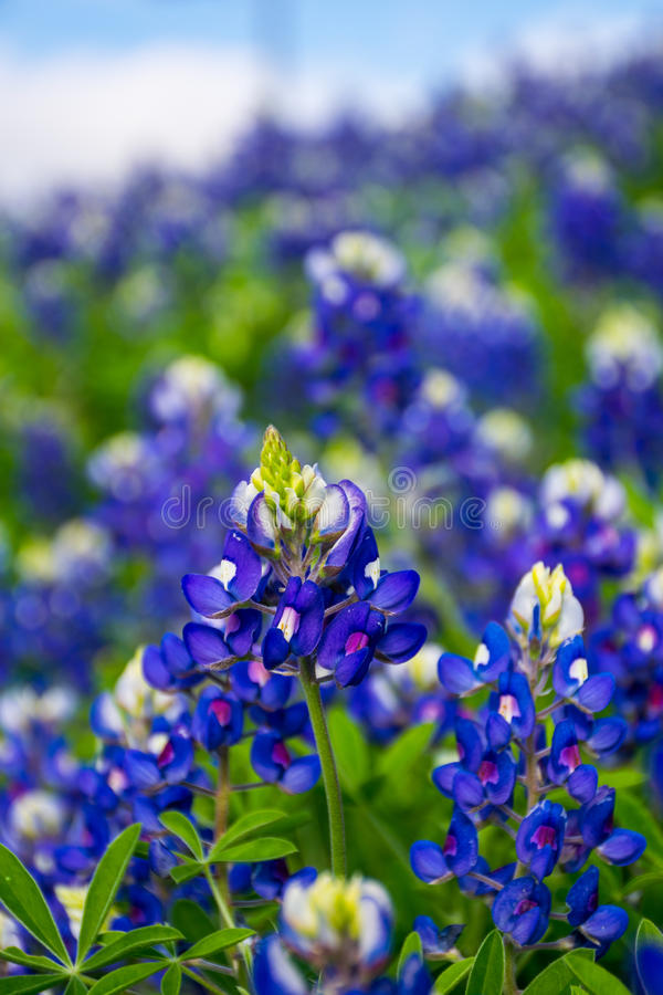 Texas Bluebonnet Flowers. In central texas in spring time as the rains come all the wildflowers come out. Deep blue and purple flowers with white tops and green royalty free stock photos