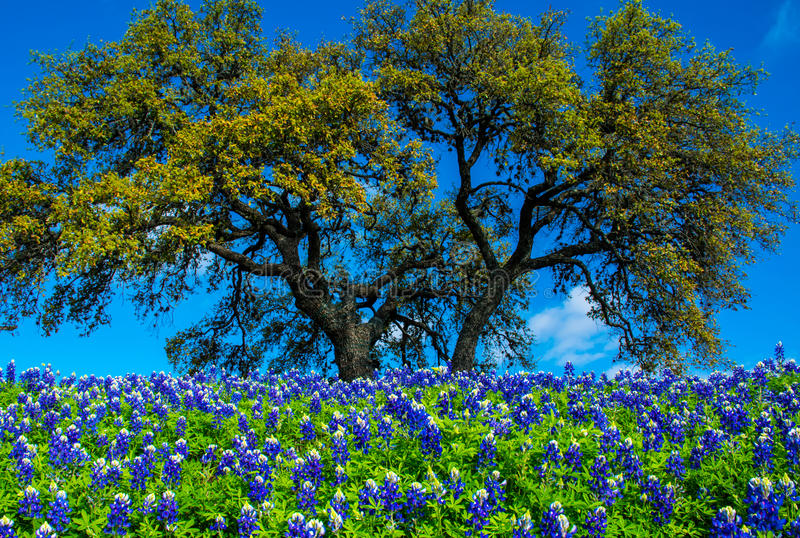 Texas Bluebonnet Flowers with Tree. Texas Bluebonnet Flowers with a big tree in central texas in spring time as the rains come all the wildflowers come out. Deep stock image