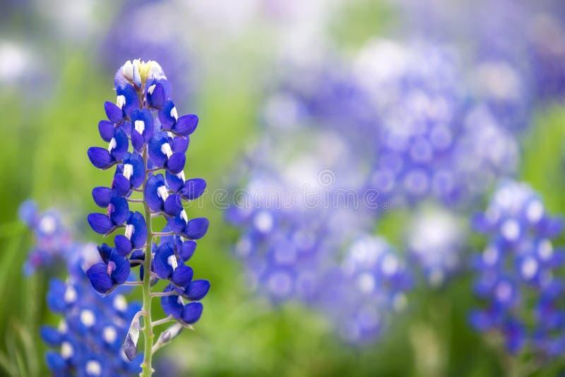 Texas Bluebonnet (Lupinus texensis). Texas Bluebonnet flower (Lupinus texensis stock photo