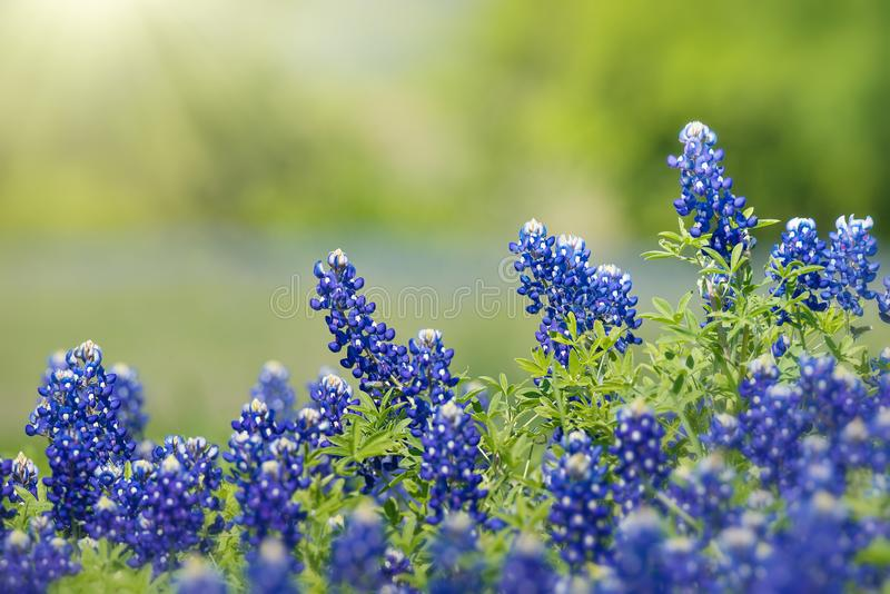 Texas Bluebonnet Lupinus texensis flowers blooming in springtime. Selective focus. Natural geen background with copy space stock images
