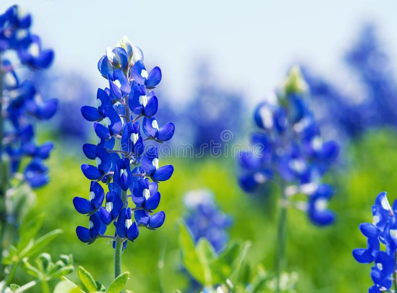 Texas Bluebonnet Lupinus texensis flowers blooming in springti. Me. Selective focus royalty free stock photos