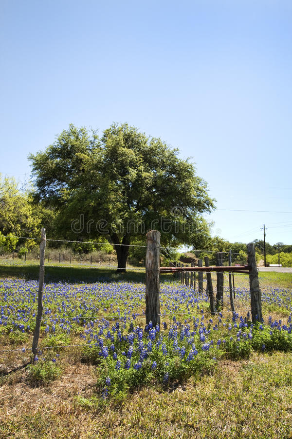 Texas Bluebonnet Wildflower Landscape fence. This is a landscape with Texas bluebonnet, Lupinus texensis, wildflowers, the state flower of Texas stock images