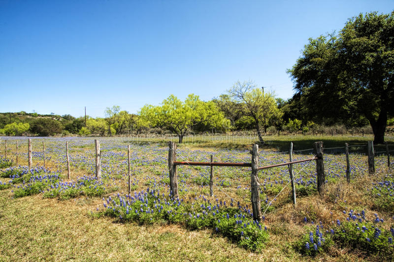Texas Bluebonnet Wildflower Landscape Fence 3. This is a landscape with Texas bluebonnet, Lupinus texensis, wildflowers, the state flower of Texas royalty free stock images