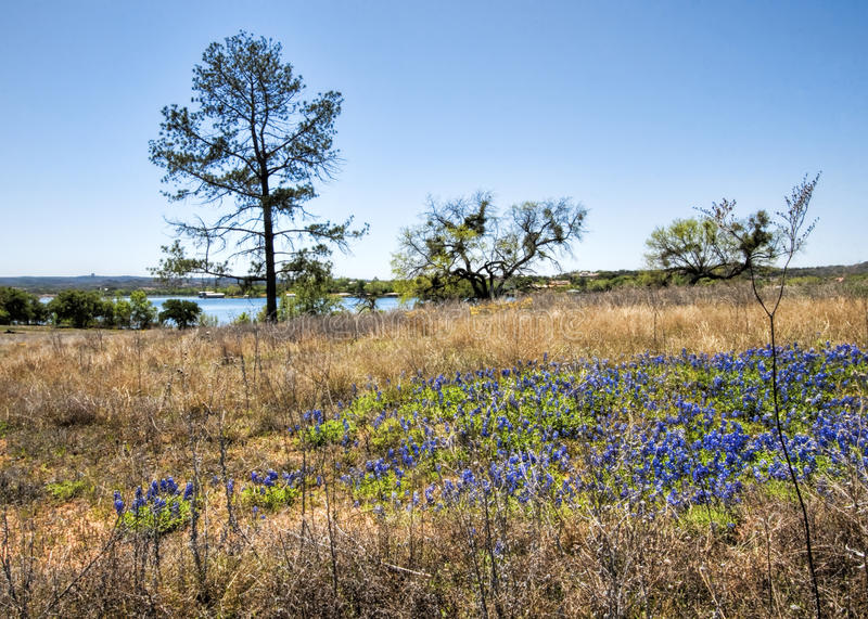 Texas Bluebonnet Wildflower Landscape. This is a landscape with Texas bluebonnet, Lupinus texensis, wildflowers, the state flower of Texas stock photography