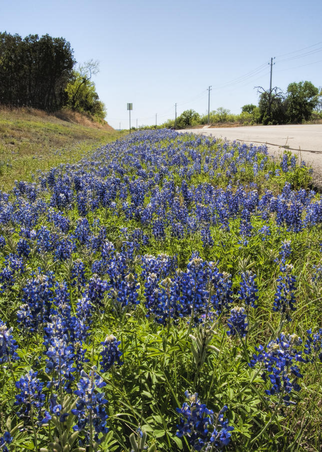 Texas Bluebonnet Wildflower Roadside Landscape. This is a roadside landscape with Texas bluebonnet, Lupinus texensis, wildflowers, the state flower of Texas stock photography