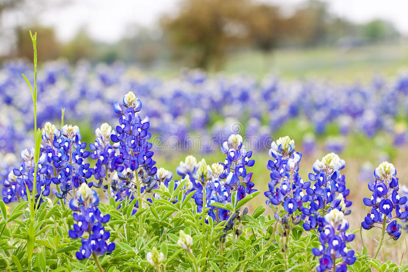 Texas Bluebonnet wildflowers royalty free stock photography