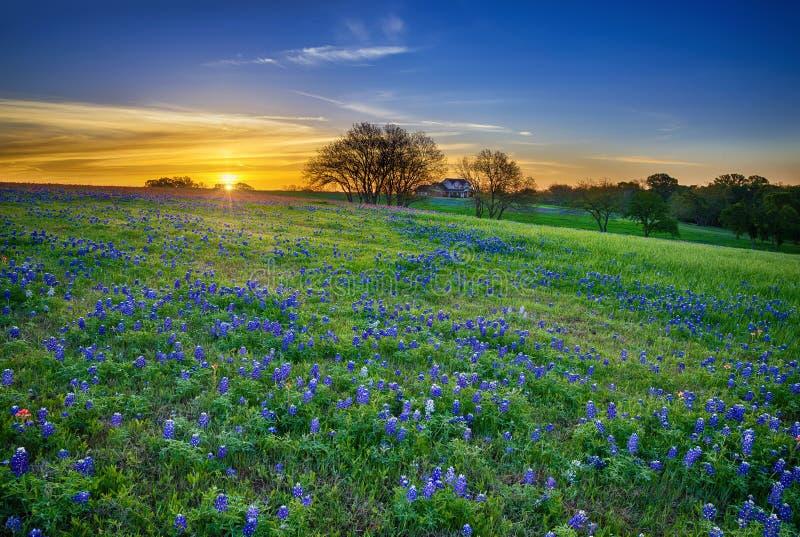 Texas-Bluebonnetfeld bei Sonnenaufgang stockbilder
