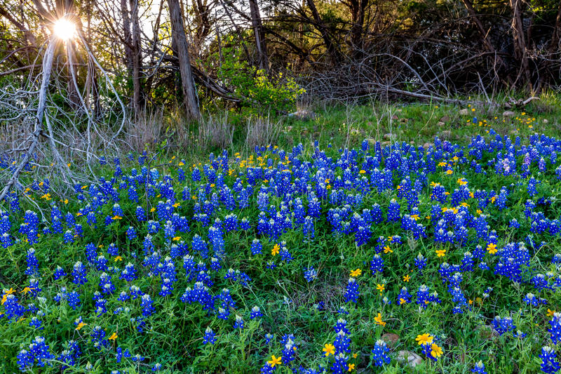Texas Bluebonnets à la courbure de Muleshoe dans le Texas image libre de droits