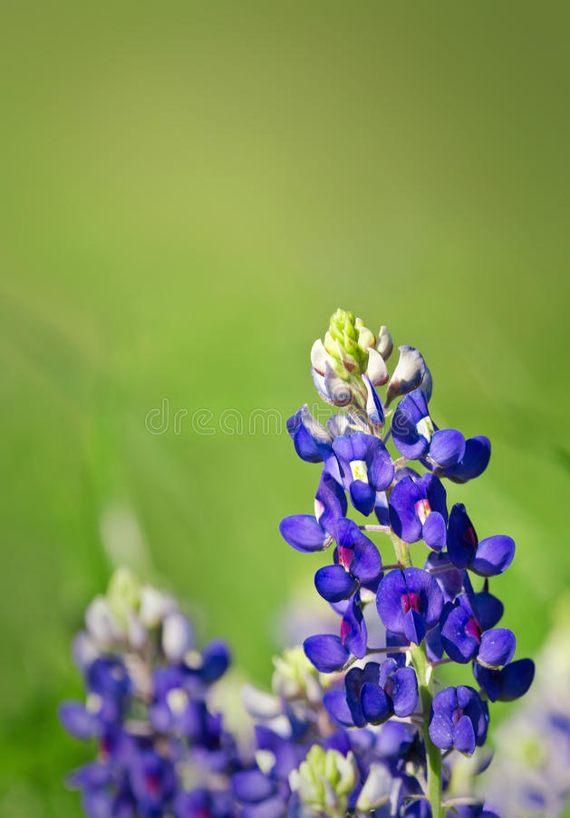 Free Texas Bluebonnets Stock Photo - 27815160