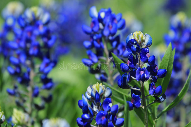 Texas Bluebonnets royaltyfri bild