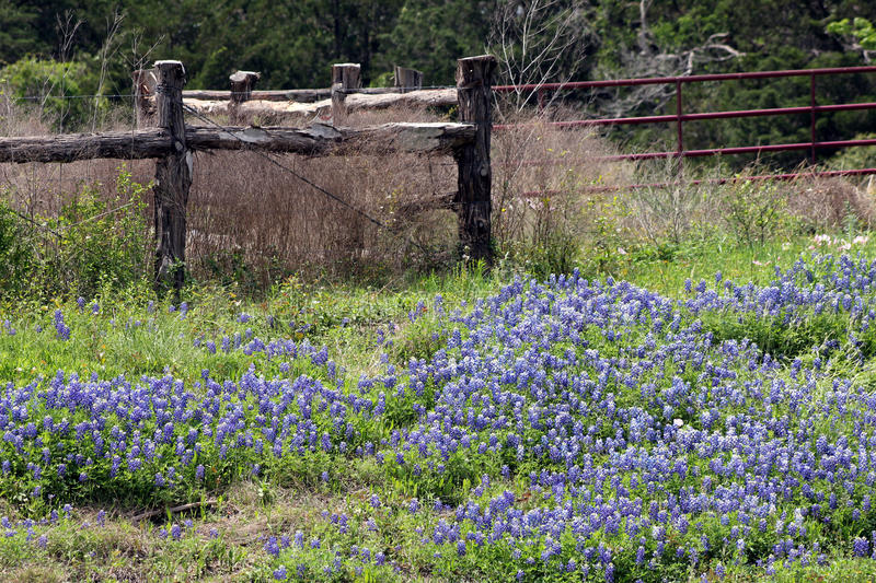 Texas-Bluebonnets stockfotografie