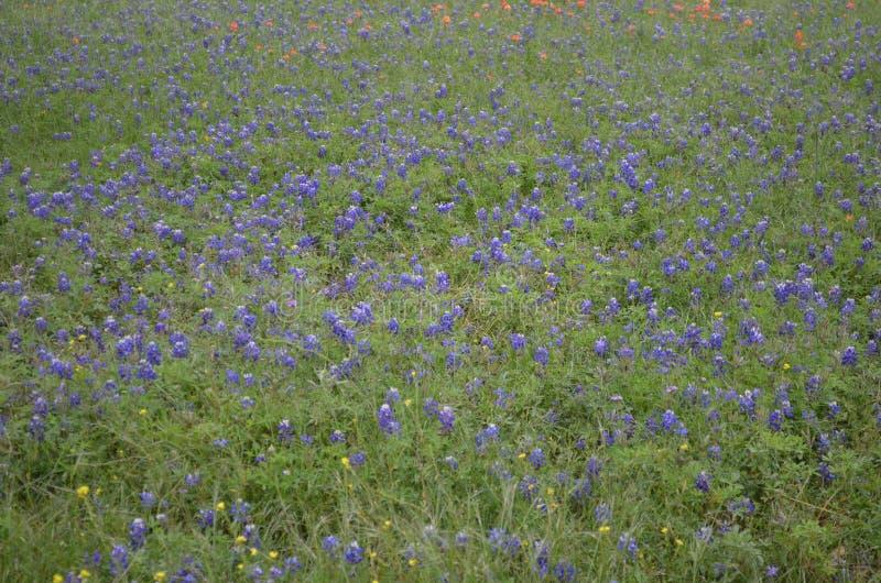 Texas Bluebonnets foto de archivo