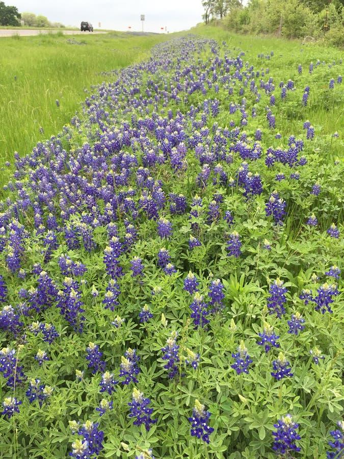 Texas Bluebonnets entlang den Texas-Landstraßen lizenzfreie stockbilder