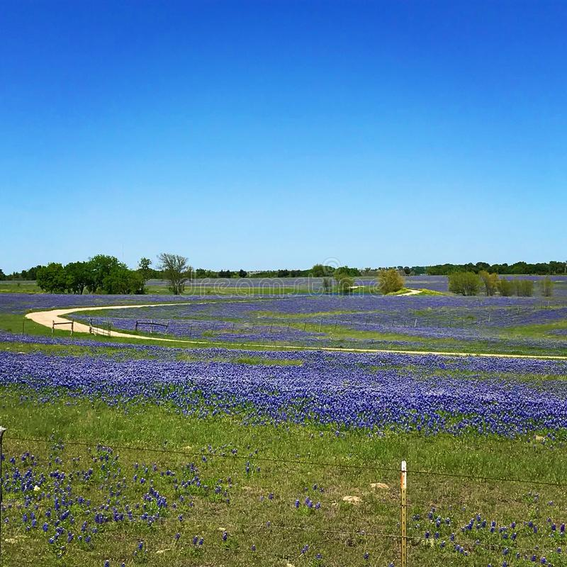 Texas Bluebonnets royalty free stock photography