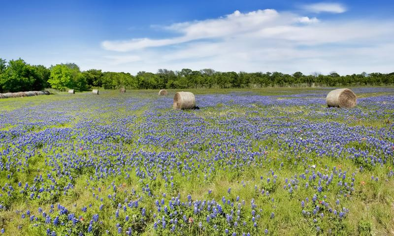 Texas bluebonnets i lantgårdfält arkivbild