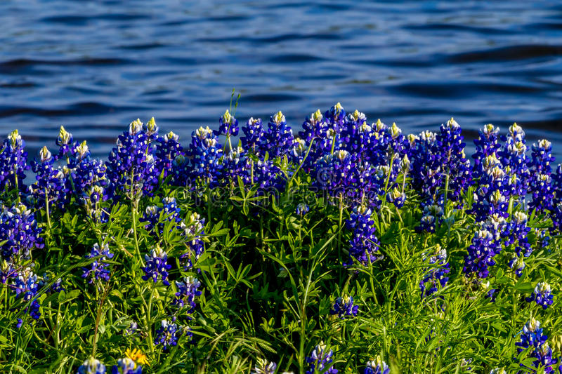 Texas Bluebonnets at Lake Travis at Muleshoe Bend in Texas. royalty free stock photos