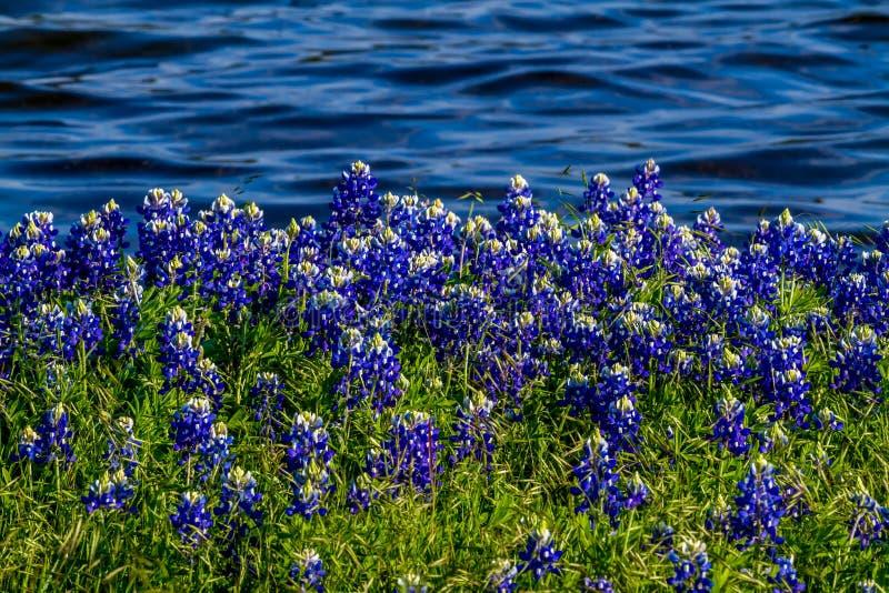Texas Bluebonnets an Muleshoe-Biegung in Texas stockfoto