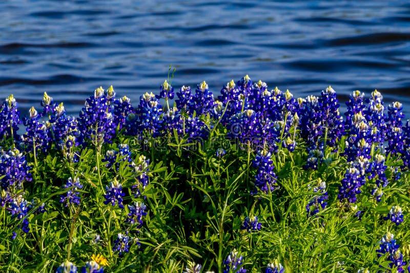 Texas Bluebonnets på sjön Travis på den Muleshoe krökningen i Texas royaltyfria foton