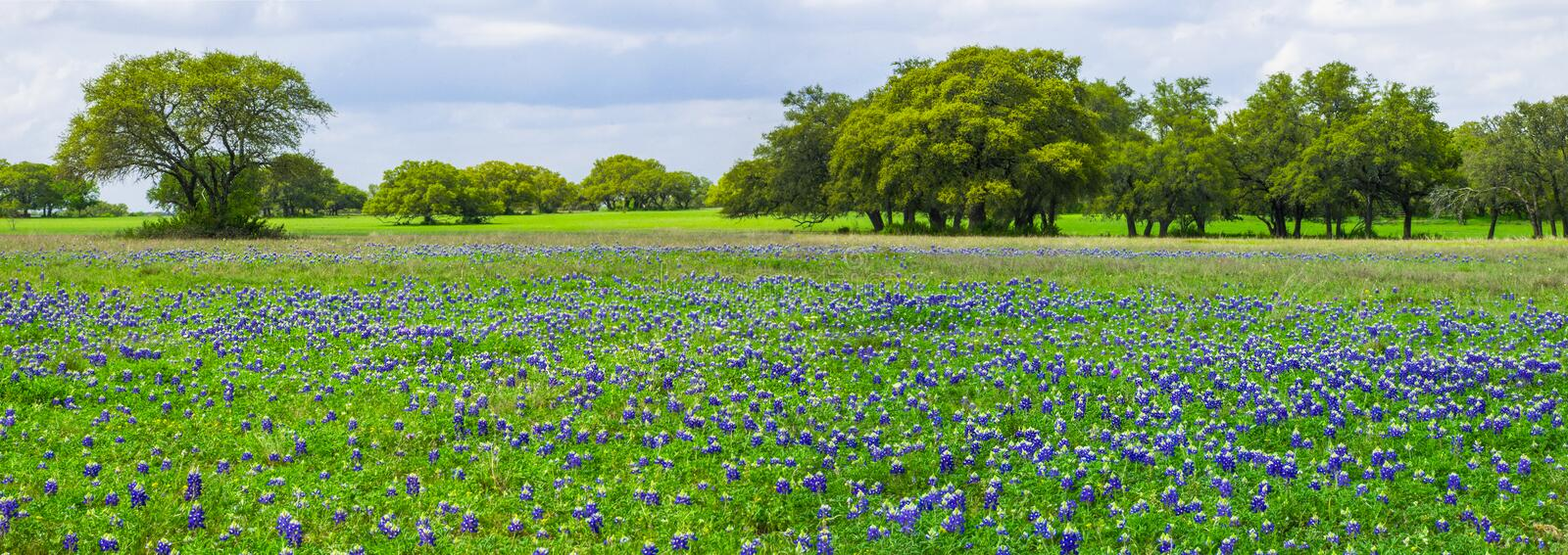 Texas Bluebonnets Panorama. Classic Central texas panoramic view of a field of bluebonnets with some trees in the background. the entire landscape is painted stock photo