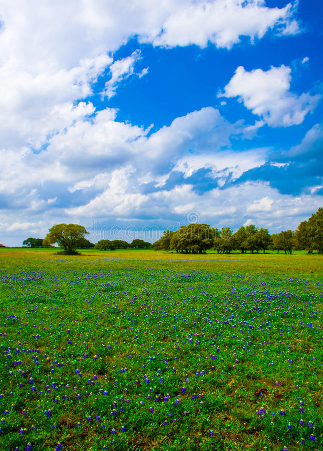 Texas Bluebonnets Vertical Shot. Classic Central texas panoramic view of a field of bluebonnets with some trees in the background. the entire landscape is stock images