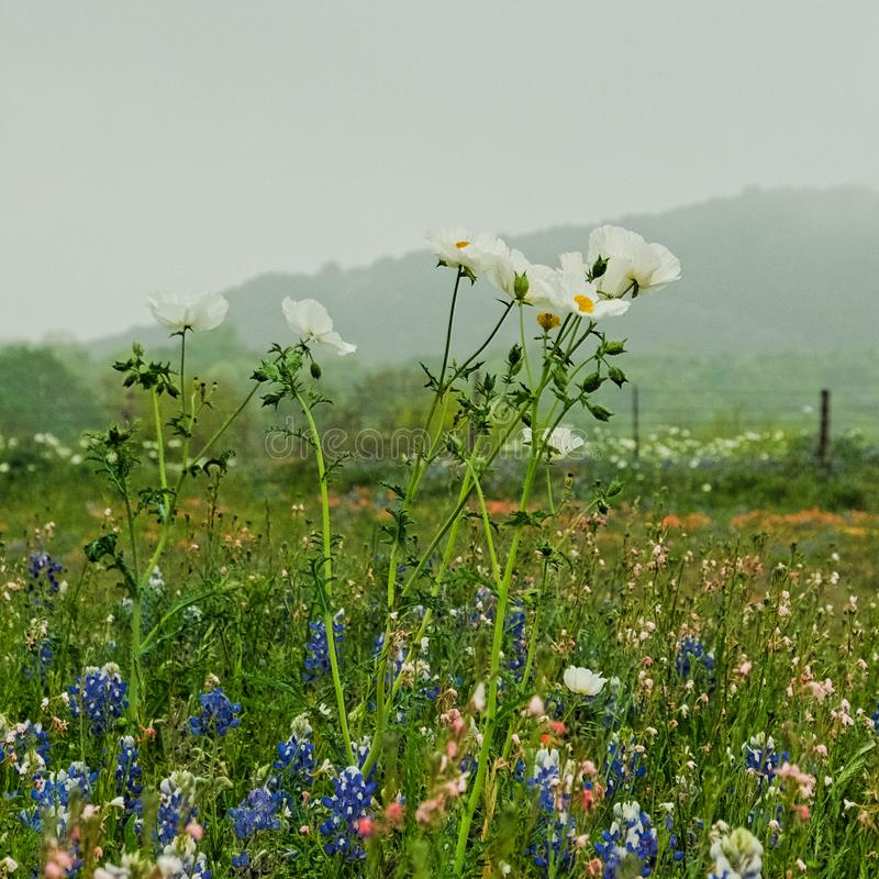 Texas bluebonnets and white flowers in open field. Texas bluebonnets and white flowers in an open field, misty hill in the background stock photo