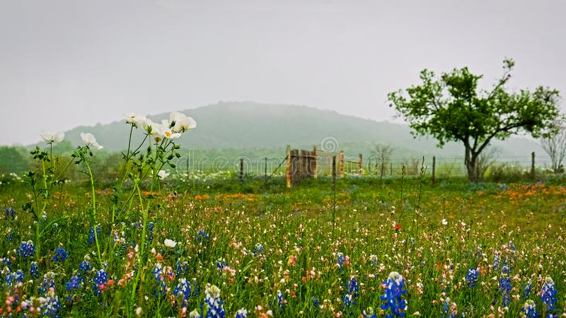 Texas bluebonnets and white flowers in spring. Texas bluebonnets, orange paintbrush flowers, and white blooms with misty hill in background stock photo