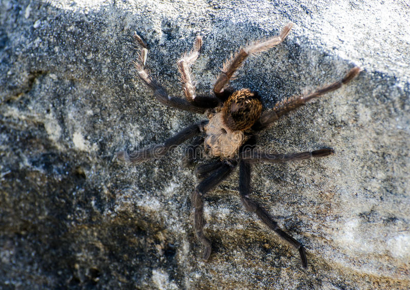 Download Texas Brown Tarantula Stock Photo - Image: 78582028