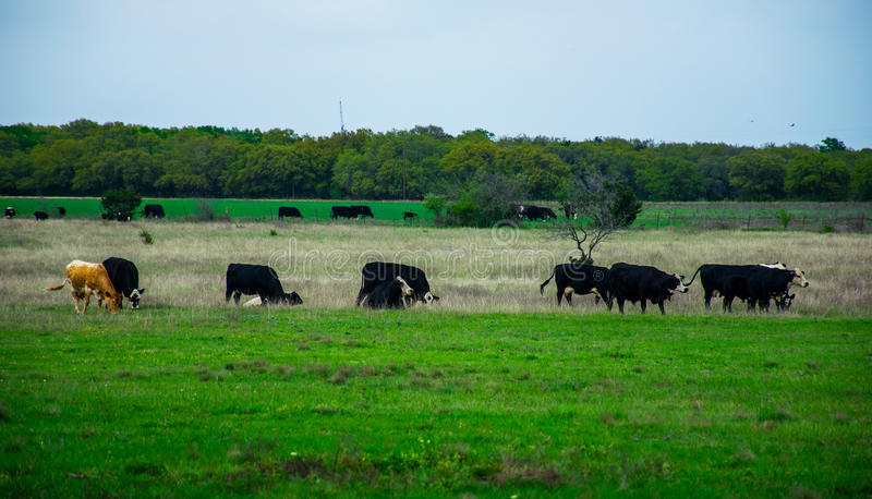 Texas Cattle sur un ranch ouvert au printemps photographie stock