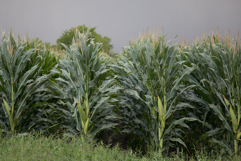 Texas Corn Field images libres de droits