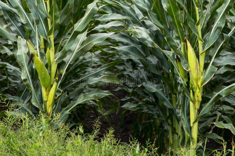 Texas Corn Field photographie stock libre de droits