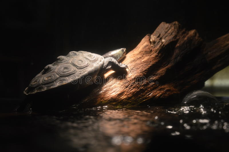 Texas diamondbacksumpsköldpadda royaltyfria bilder