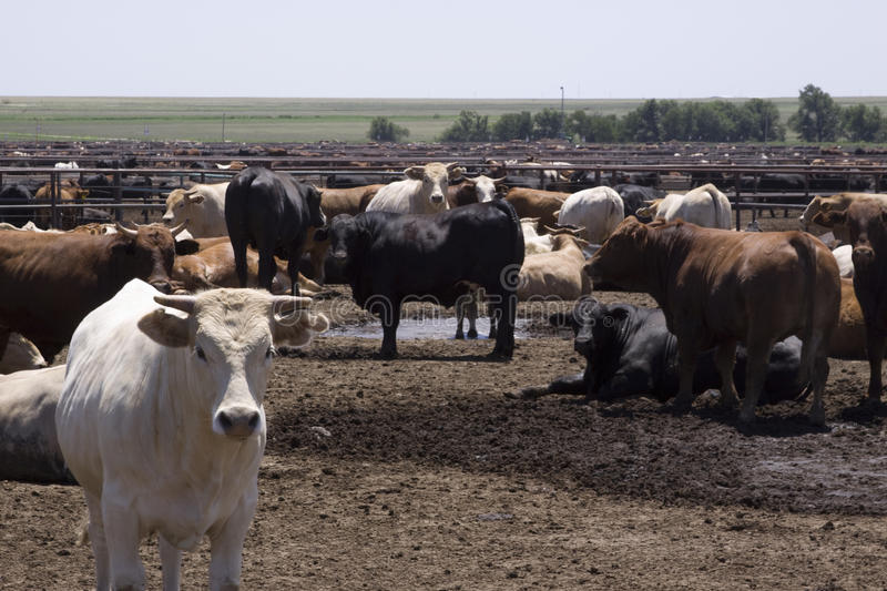 Texas Feedlot. This Texas feedlot houses thousands of cows royalty free stock photo